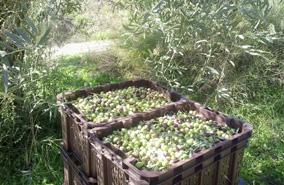olivenernte-elisson2016