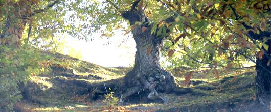 olive-herbstbaum