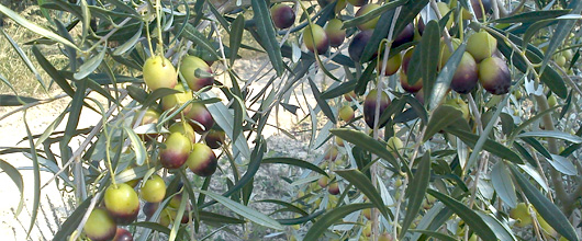 reifer-olivenstrauch