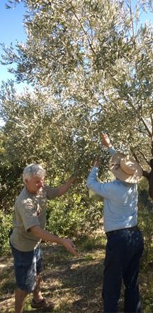 olivenpfluecken