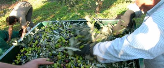 olivenernten