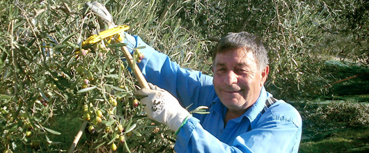 olivenzweige-pfluecken