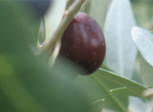 schwarze-oliven